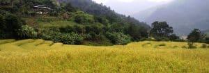 不丹旅游秋季稻田