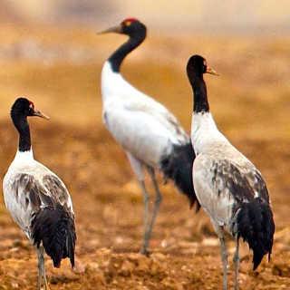 不丹黑颈鹤观赏